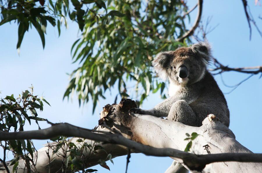 Koalas of Kennett River