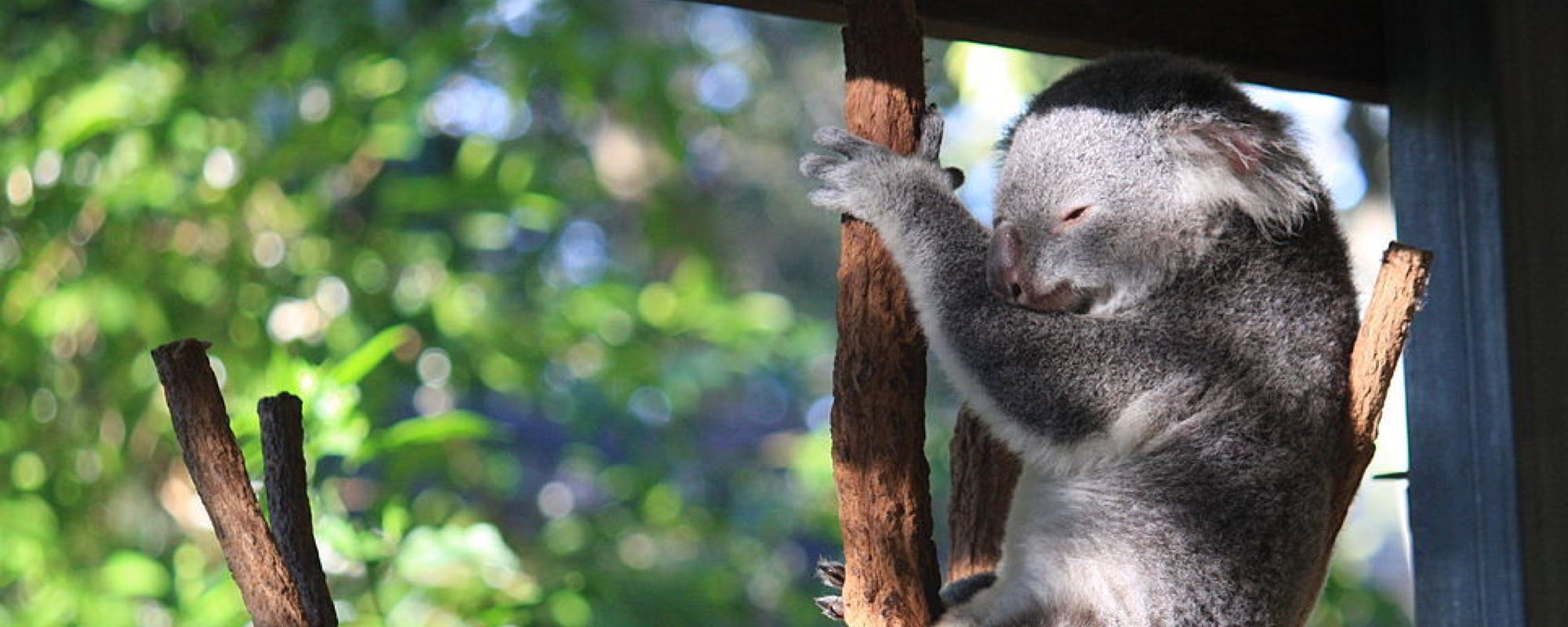 Where are the koalas on the Great Ocean Road?