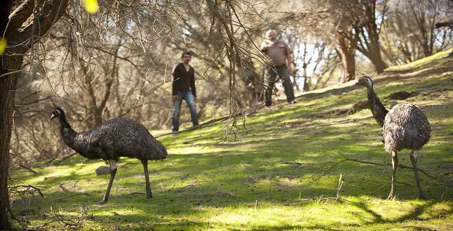 emus at tower hill