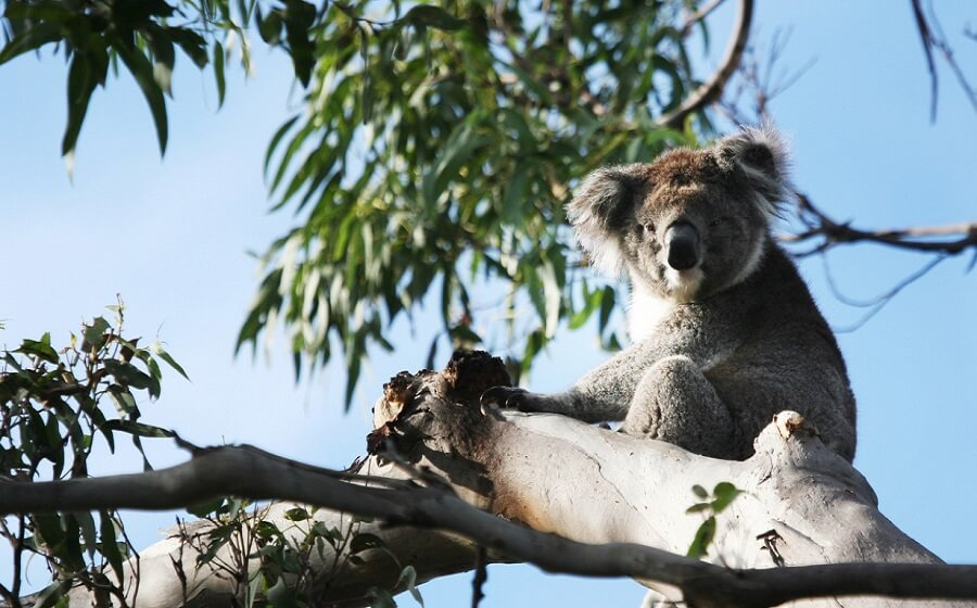 koalas on the great ocean road